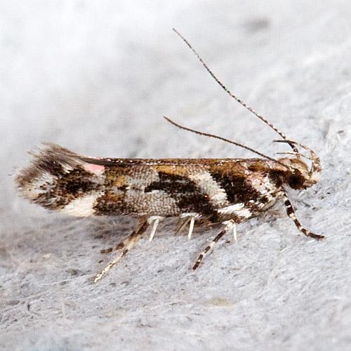 Aristotelia roseosuffusella - Garden Webworm Moth - Aristotelia roseosuffusella
