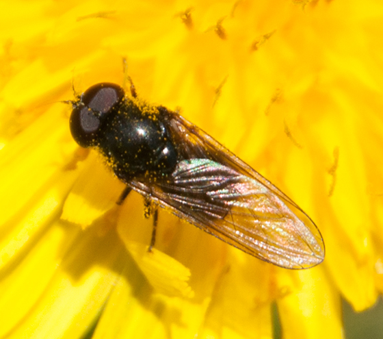 Black Syrphid? - Cheilosia