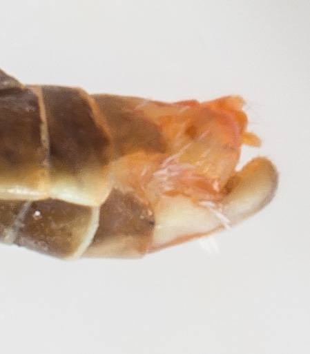Erythroneura festiva - male