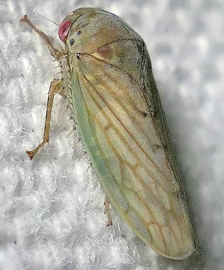leafhopper - Polana quadrinotata