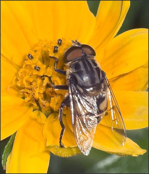 What genus of syrphidae? - Palpada furcata - male