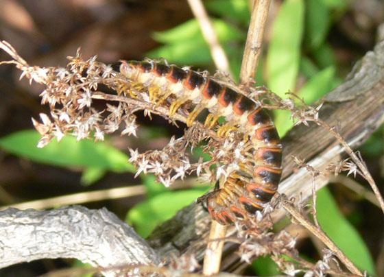 millipede - Apheloria virginiensis