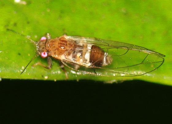 (Triozidae) - Trioza eugeniae