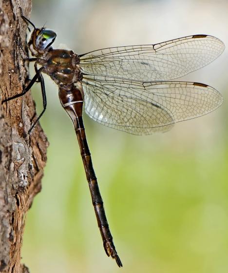 Incurvate Emerald, new for Kouchibouguac National Park in 2009 - Somatochlora incurvata - female