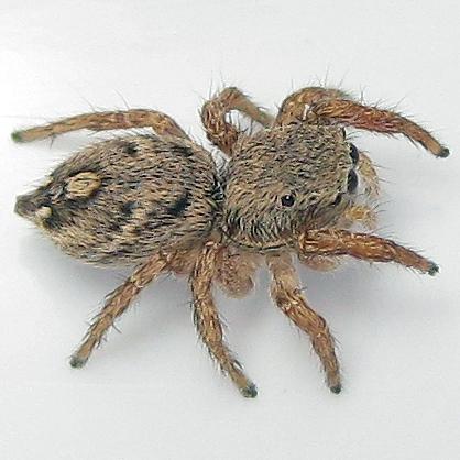 Habronattus coecatus - female
