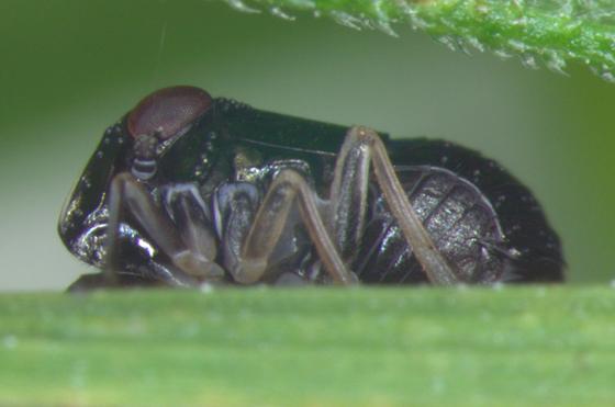 Caliscelidae - Bruchomorpha dorsata