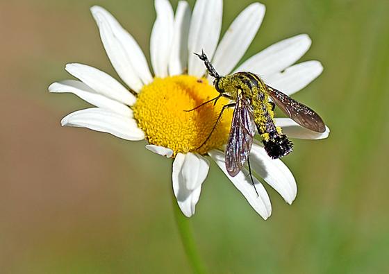 Cool Fly - Lepidophora lutea