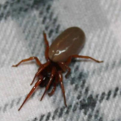 What Kind Of Bug Is This Dysdera Crocata