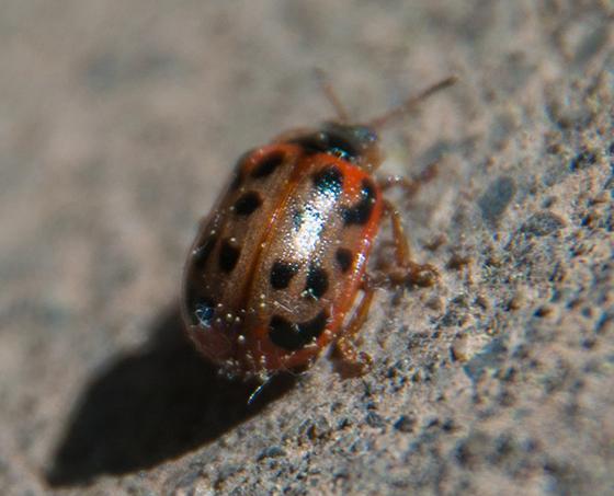 Chrysomela mainensis? - Chrysomela