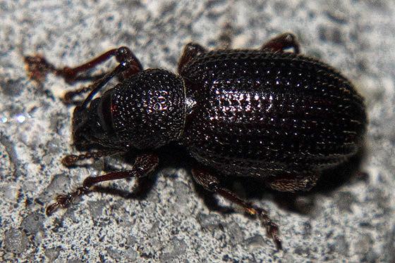 Dark red beetle - Otiorhynchus cribricollis