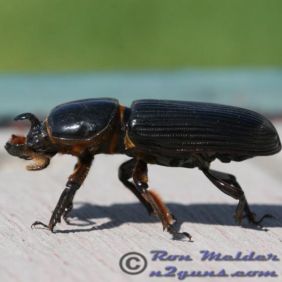 Beetle 01 - Odontotaenius disjunctus