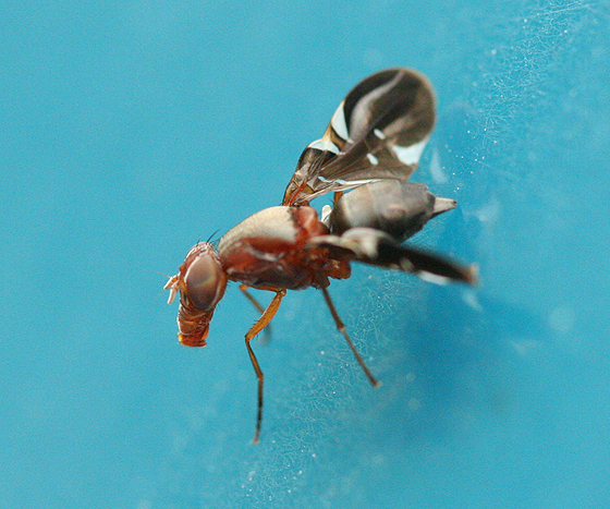 Gas Mask Fly - Delphinia picta