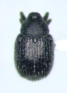 Cleopomiarus hispidulus
