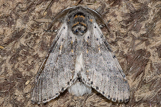Gray Furcula - Furcula cinereoides