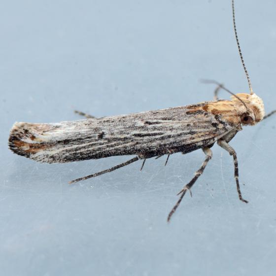 Moth for ID - Gnorimoschema powelli