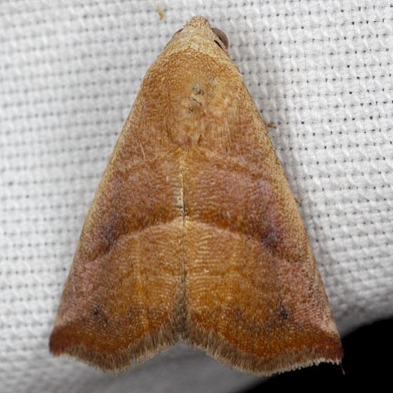 Moth IMG_0536 - Eublemma cinnamomea
