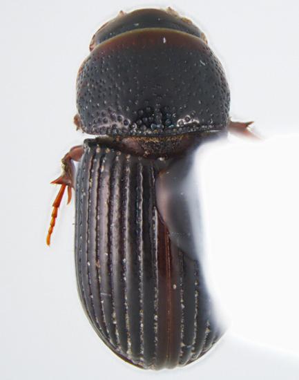 Aphotaenius carolinus (Van Dyke) - Aphotaenius carolinus