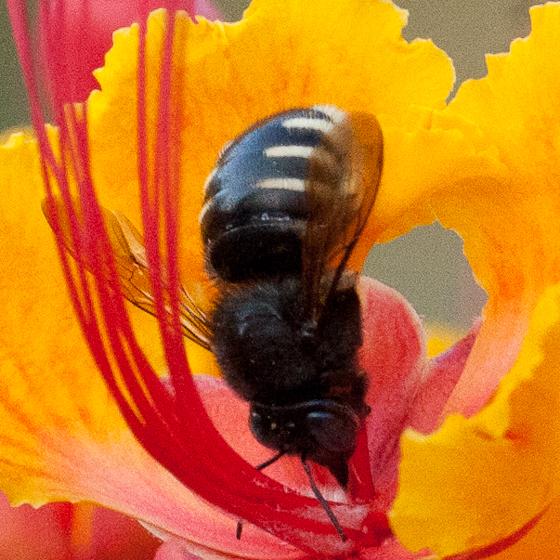 Carpenter bee sipping nectar from caesalpinia - Xylocopa tabaniformis