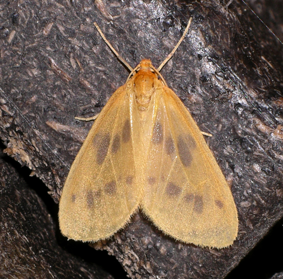 Eubaphe meridiana  - Eubaphe meridiana