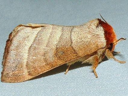 Datana integerrima - Walnut Caterpillar - Datana integerrima