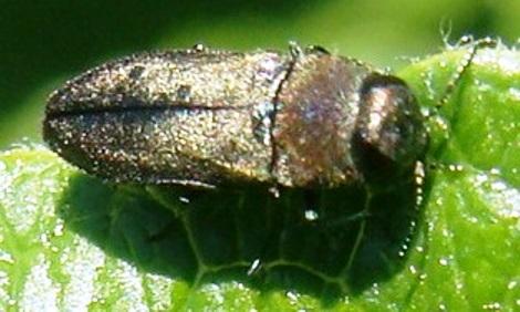 Buprestid beetle - Subgenus Haplanthaxia - Anthaxia