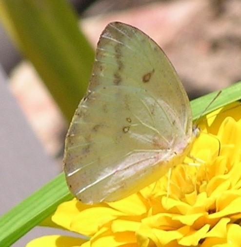 Joy! - Phoebis agarithe - female