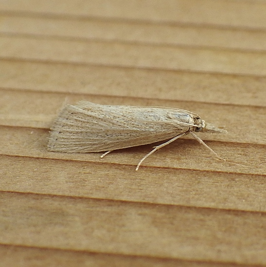 Crambidae: Eoreuma densella?