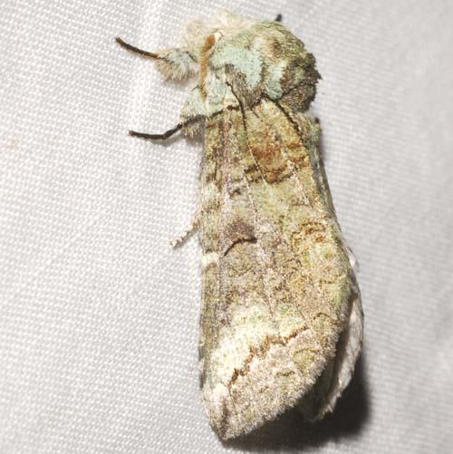Notodontid - Heterocampa astartoides