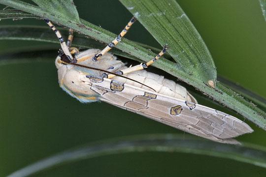 Florida tussock moth - Halysidota cinctipes