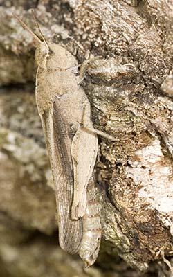 Acrididae - Chortophaga viridifasciata - female