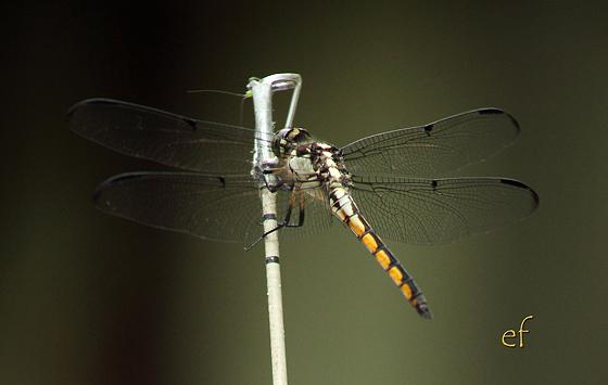 Unknown - Libellula vibrans - male
