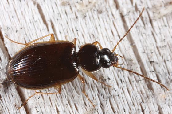 Ground beetle - Olisthopus micans