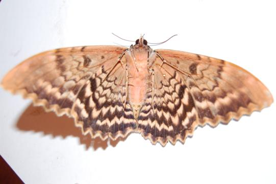 Bent-Line Gray (?) Moth but has very wavy wing trailing edge, thinner antenna and is more brown.  Flash washed the photo gray. - Thysania zenobia