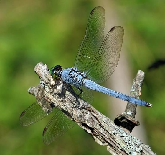 Eastern pondhawk? - Erythemis simplicicollis - male