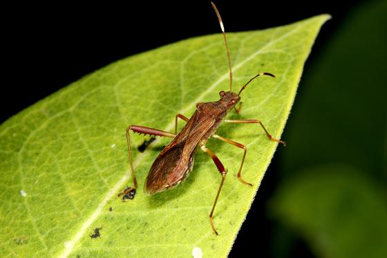 Bug - Megalotomus quinquespinosus
