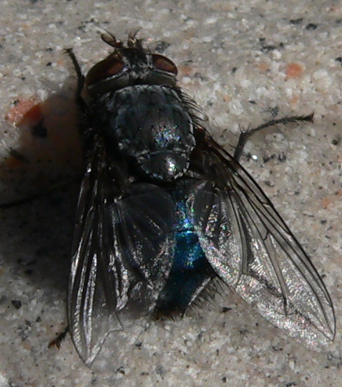 Blue Fly - Calliphora