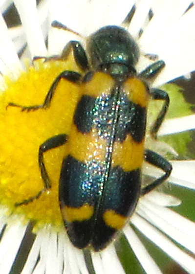 Black and Yellow Beetle - Trichodes nuttalli