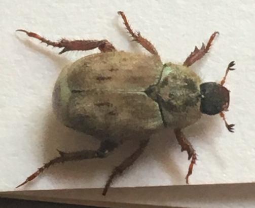 Possible Scarabaeidae? - Hoplia