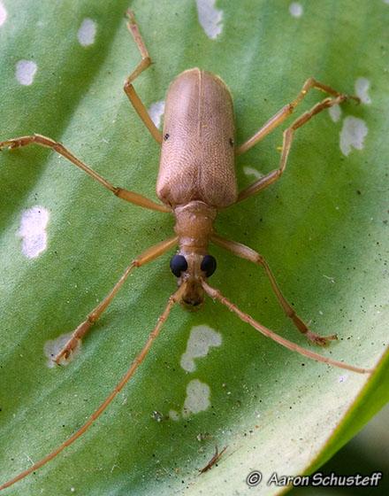 Centrodera - Centrodera spurca - male