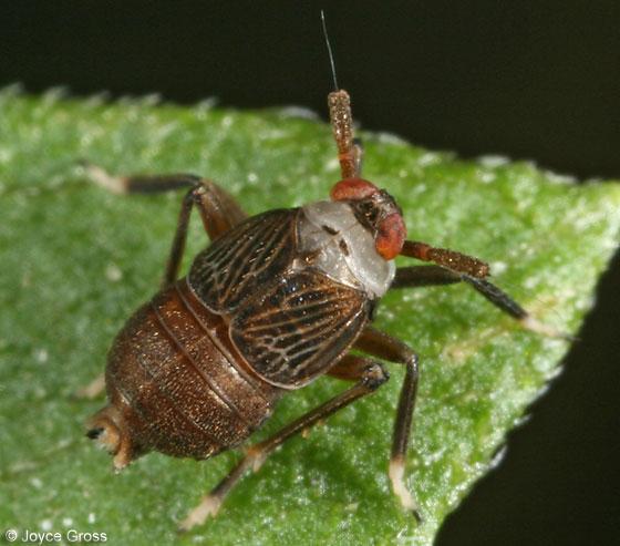 delphacid planthopper - Pissonotus aphidioides