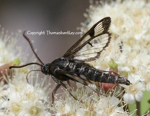 Clearwing Moth - Albuna pyramidalis