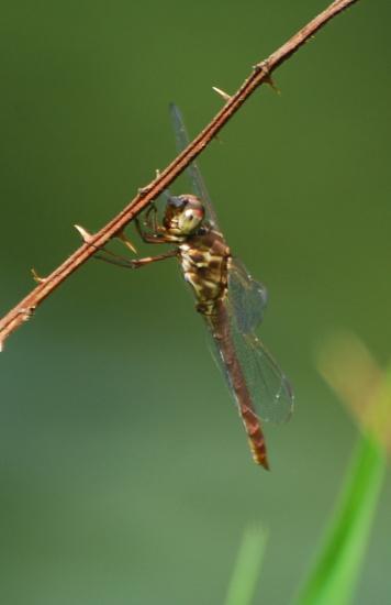 Female Roseate Skimmer? - Orthemis ferruginea
