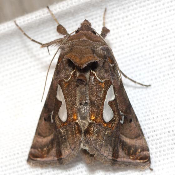 Bilobed Looper Moth - Hodges #8907 - Megalographa biloba