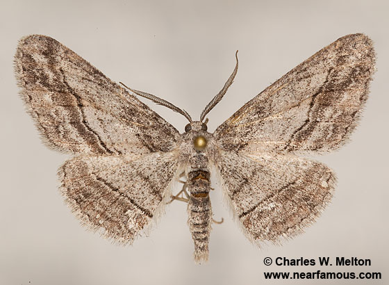 Stenoporpia? - Stenoporpia - male