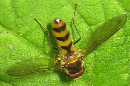Downeast Syrphid - Meliscaeva cinctella - male