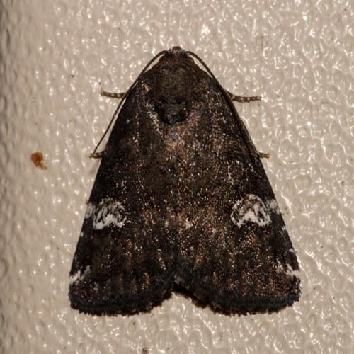 Illinois  Data Point - Anterastria teratophora