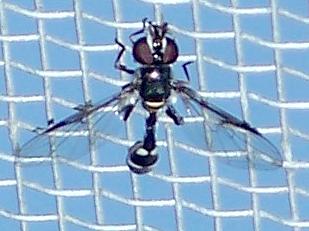 Pseudodoros clavatus - Dioprosopa clavata - female