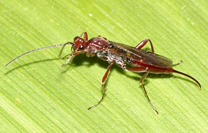 Braconid Wasp? - Proctotrupes caudatus