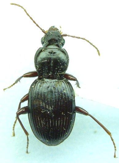 Carabid - Gastrellarius honestus
