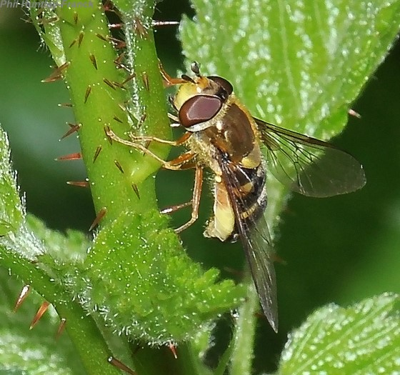 Syrphid fly laying eggs - Syrphus opinator - female